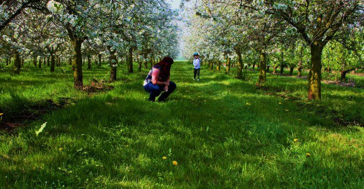boomgaard met bloesems tijdens de bloesemtocht fietstocht Sint-Truiden