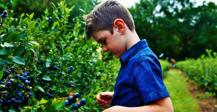 blauwe bessen plukken blueberry fields pluktuin