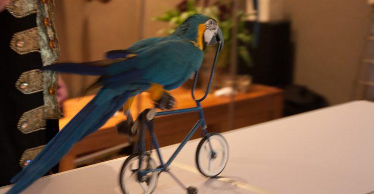 papegaai op fiets papegaaienshow piratenfeest verjaardag