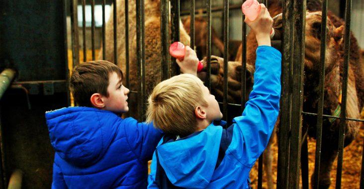 kamelenmelkerij smits berlicum dromedaris boerderij kamelenboerderij op een kameel zitten kalfjes